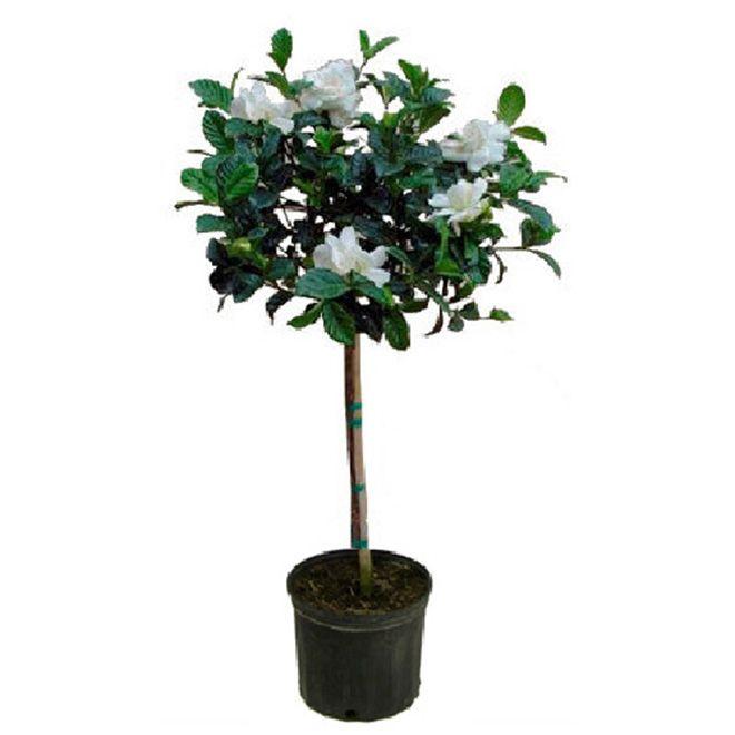 Standard Gardenia Landscaping Plants Plants Gardenia