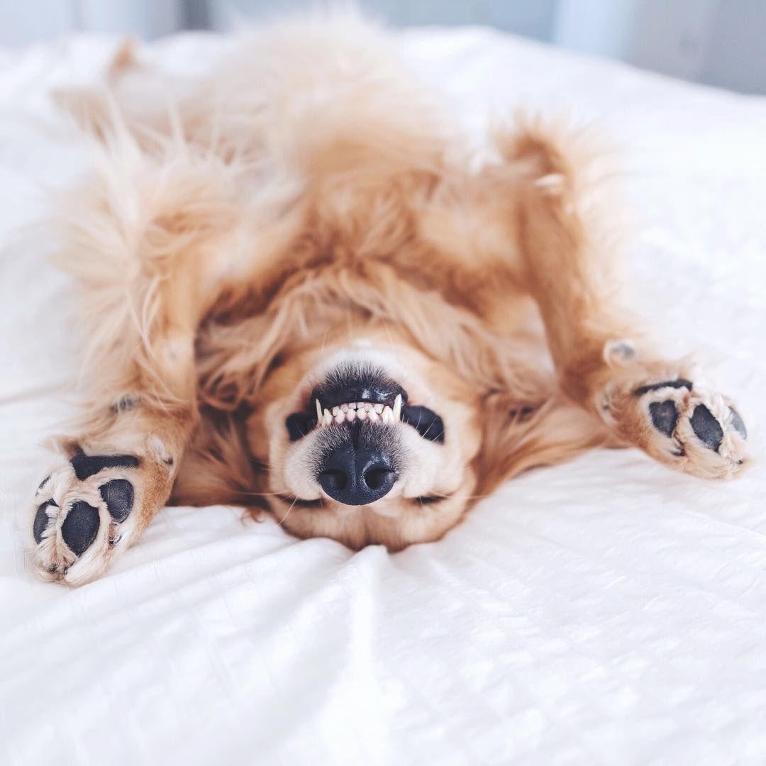 Smile It S Sunday Whpsmile Goldenretriever I Love Golden