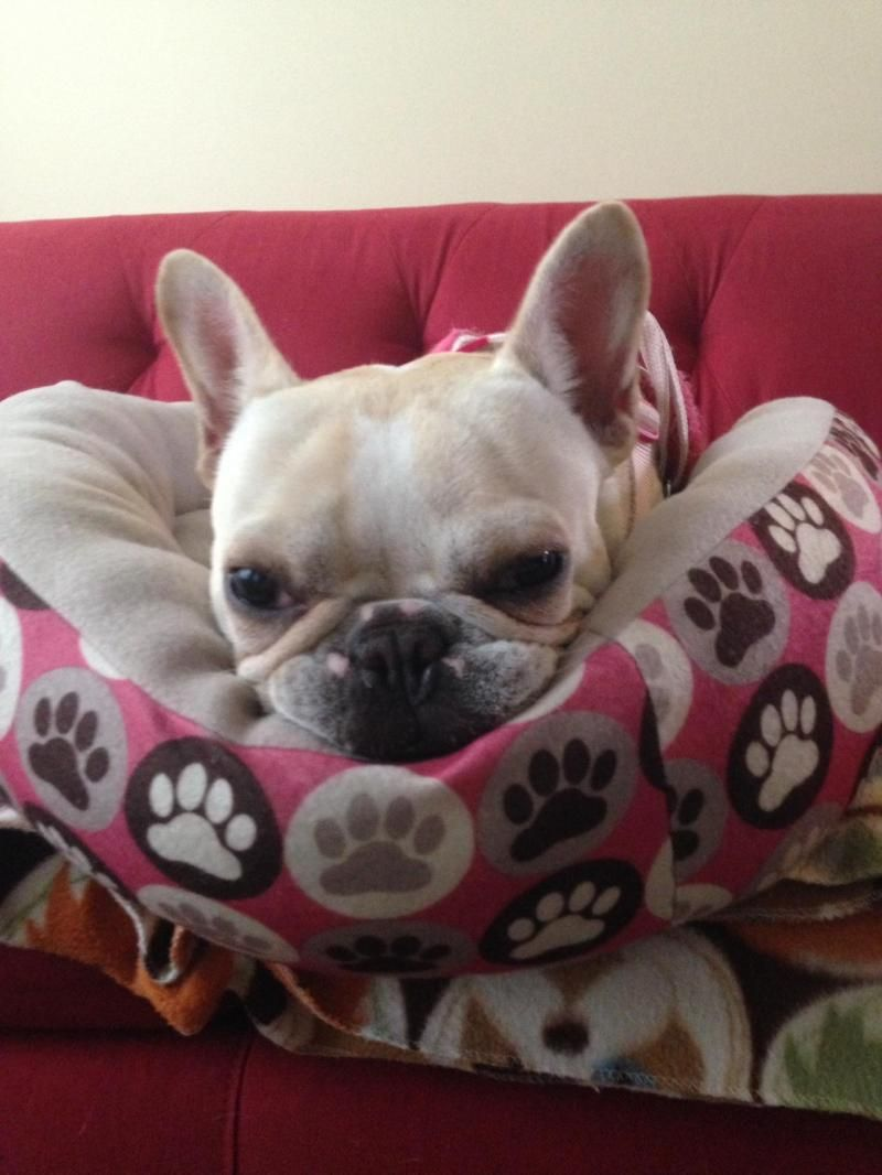 Meet Stitch A Petfinder Adoptable French Bulldog Dog Evanston Il