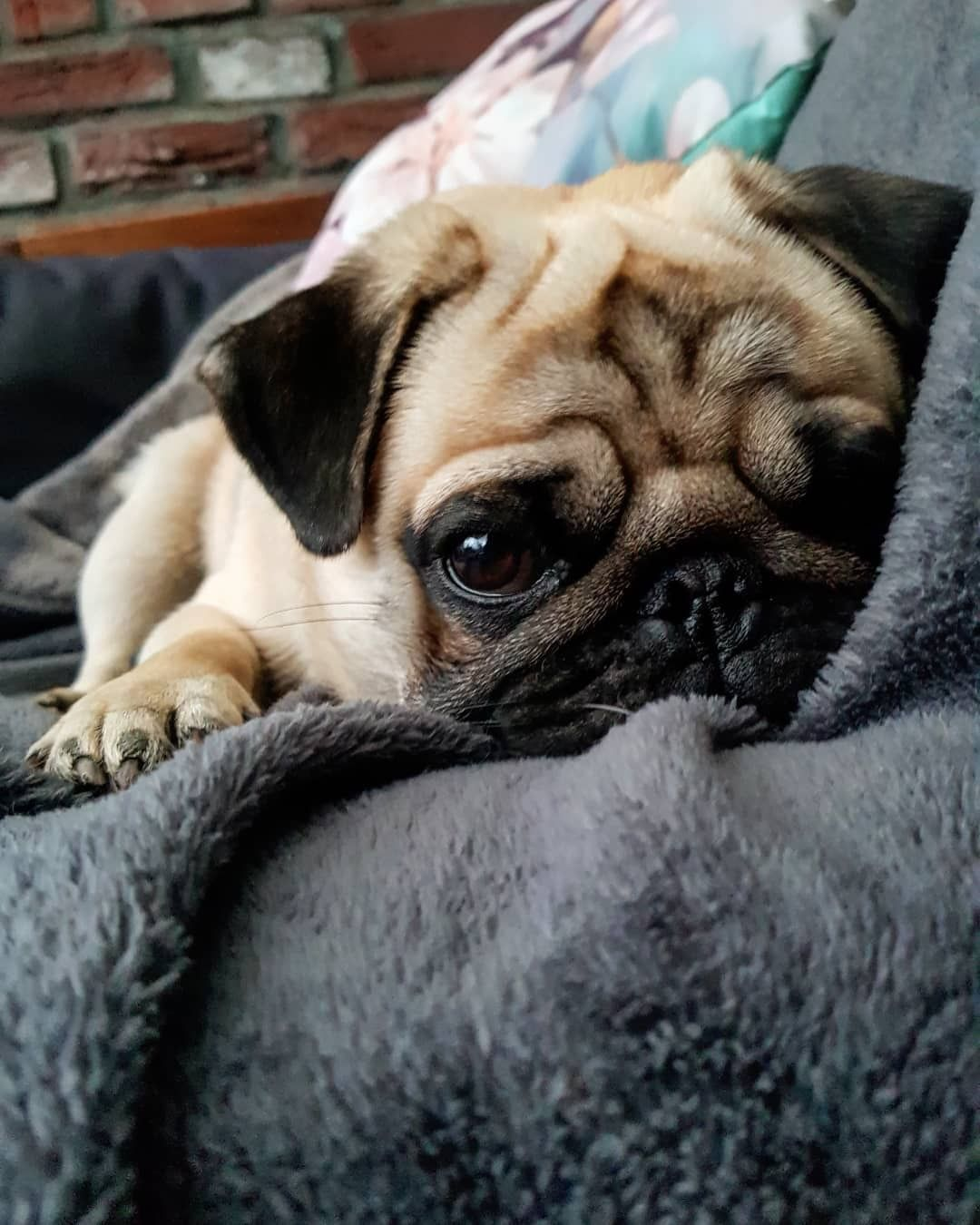 Pug Crazy Com Cutepugpuppies In 2020 Cute Dogs Cute Baby