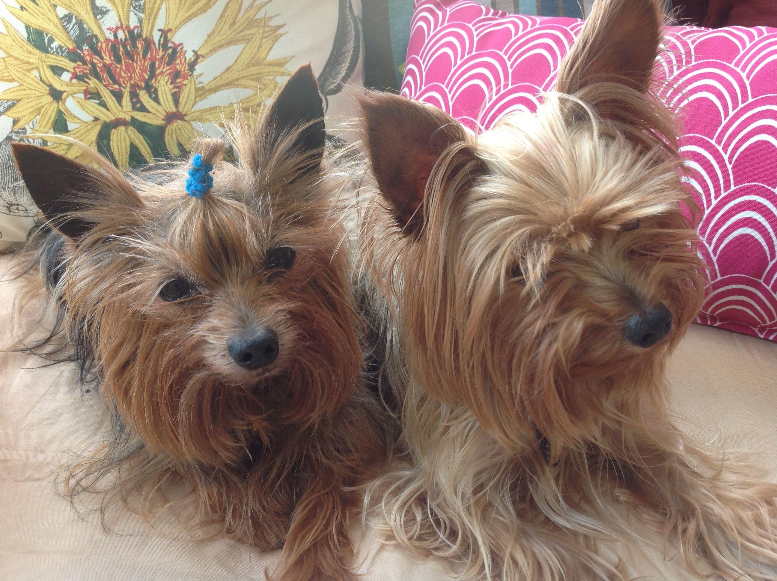 Yorkies  Robbie & Wesley