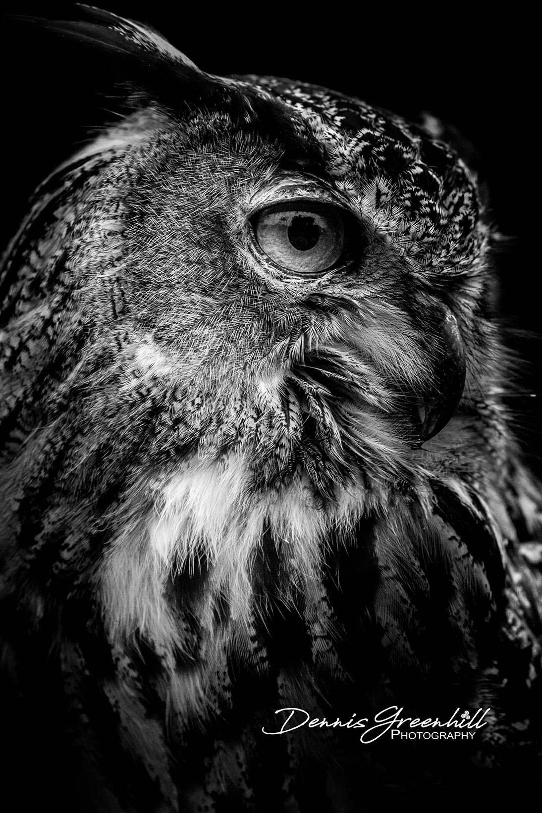 Find us at www.greenhillsent.com This is one of my favorites: It has hung in a couple of galleries and has sold very well. European Eagle Owl #wildlifephotography #owl #giftidea #photography #printsforsale #interiordesignideas #interiordesign #groomsmengift #groomsmengiftidea #bridesmaidgift #homedecor #bridesmaidgiftidea #wallart #weddinggift