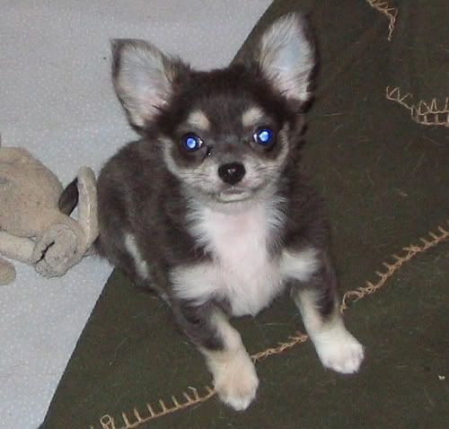We Have A Chihuahua Husky Mix And This Dog Is The Closest In Appearance That I Could Find Of Him Our Dog Has One Blue Eye A Chihuahua Husky Breeds Fur