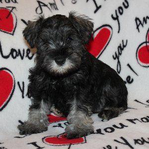 Available Pups Daniels Mini Schnauzers Schnauzer Pup Mini Schnauzer