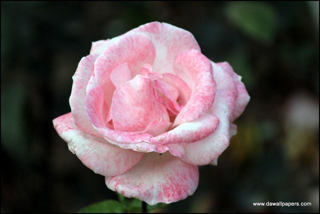 Pink Landmark Rose Hybrid Tea Varieties Flower Wallpapers Photo