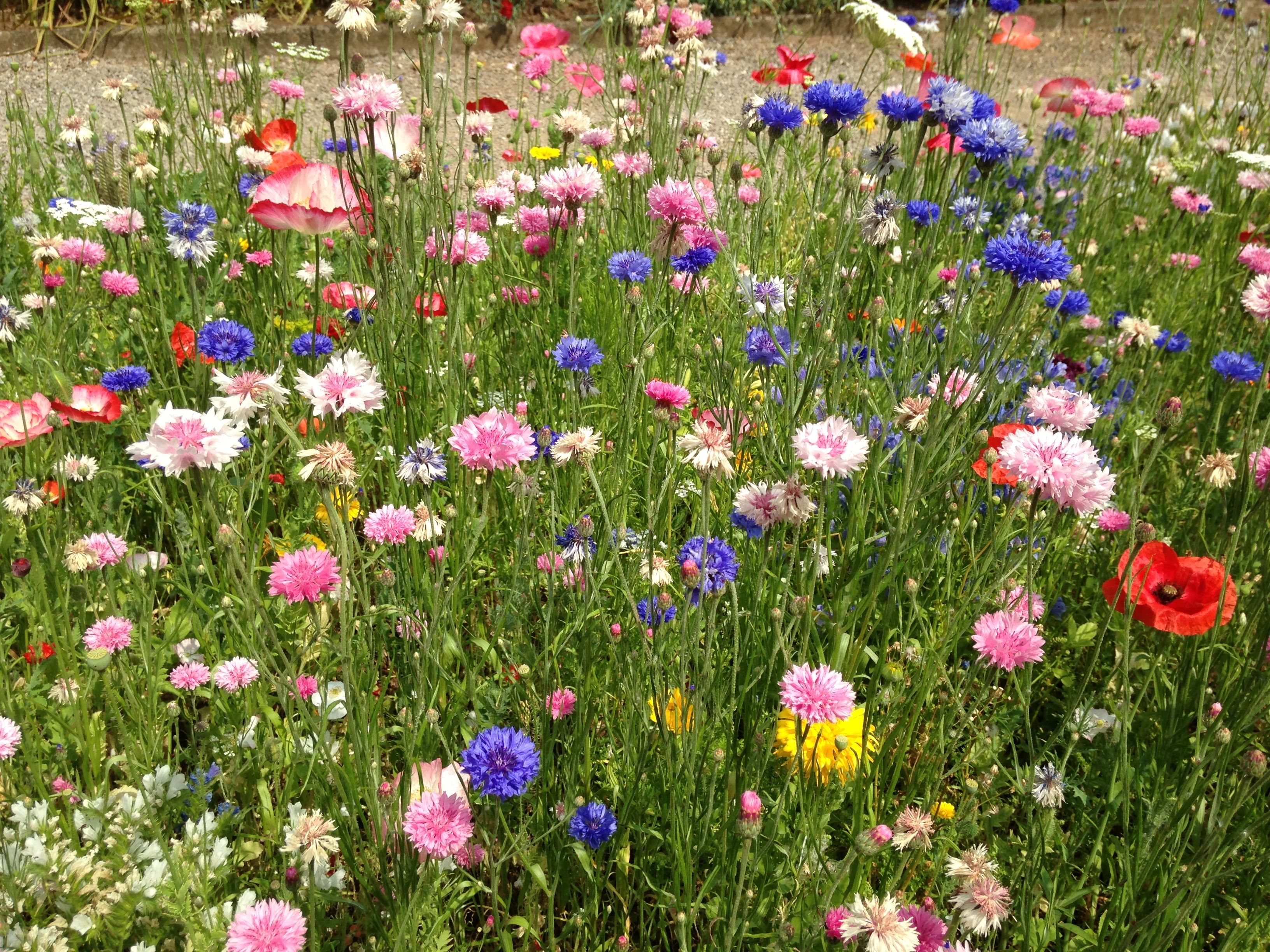 Tyntesfield Wild Flower Bed Beautiful