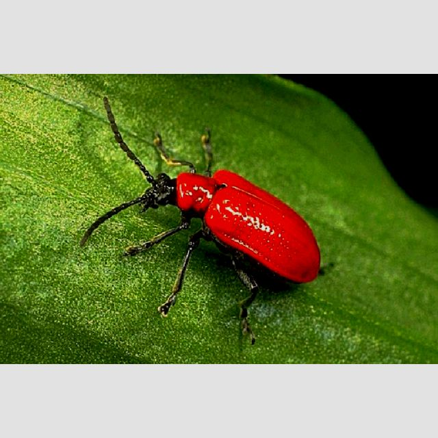 Lilly beetle
