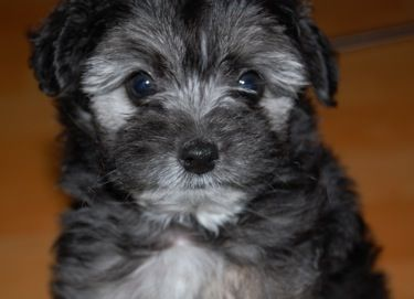 Pin By Katherine Hearty On Puppy Love Schnoodle Dog Schnoodle Poodle Mix Puppies