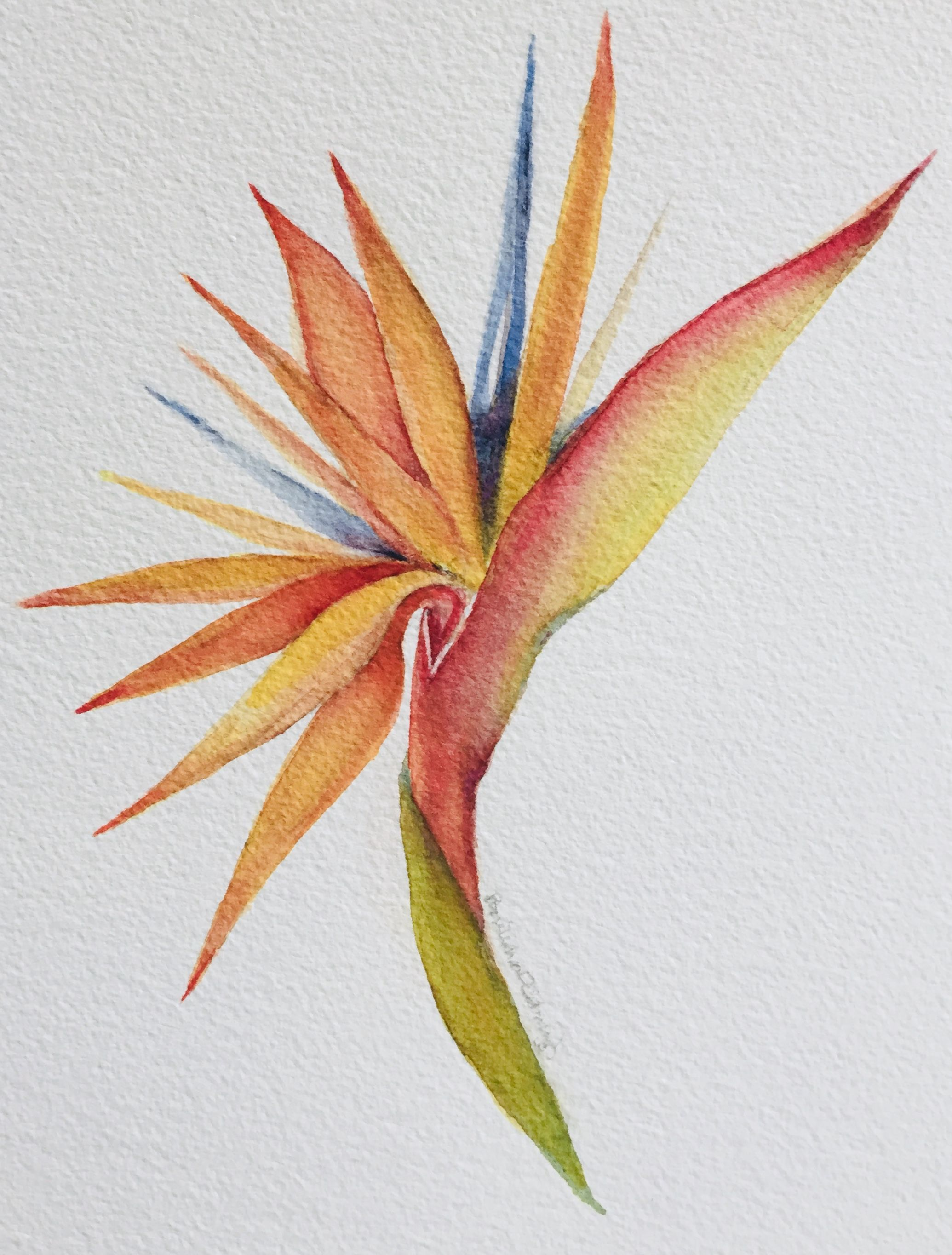 Bird Of Paradise Watercolor Flower Art Watercolor Paintings Birds Of Paradise