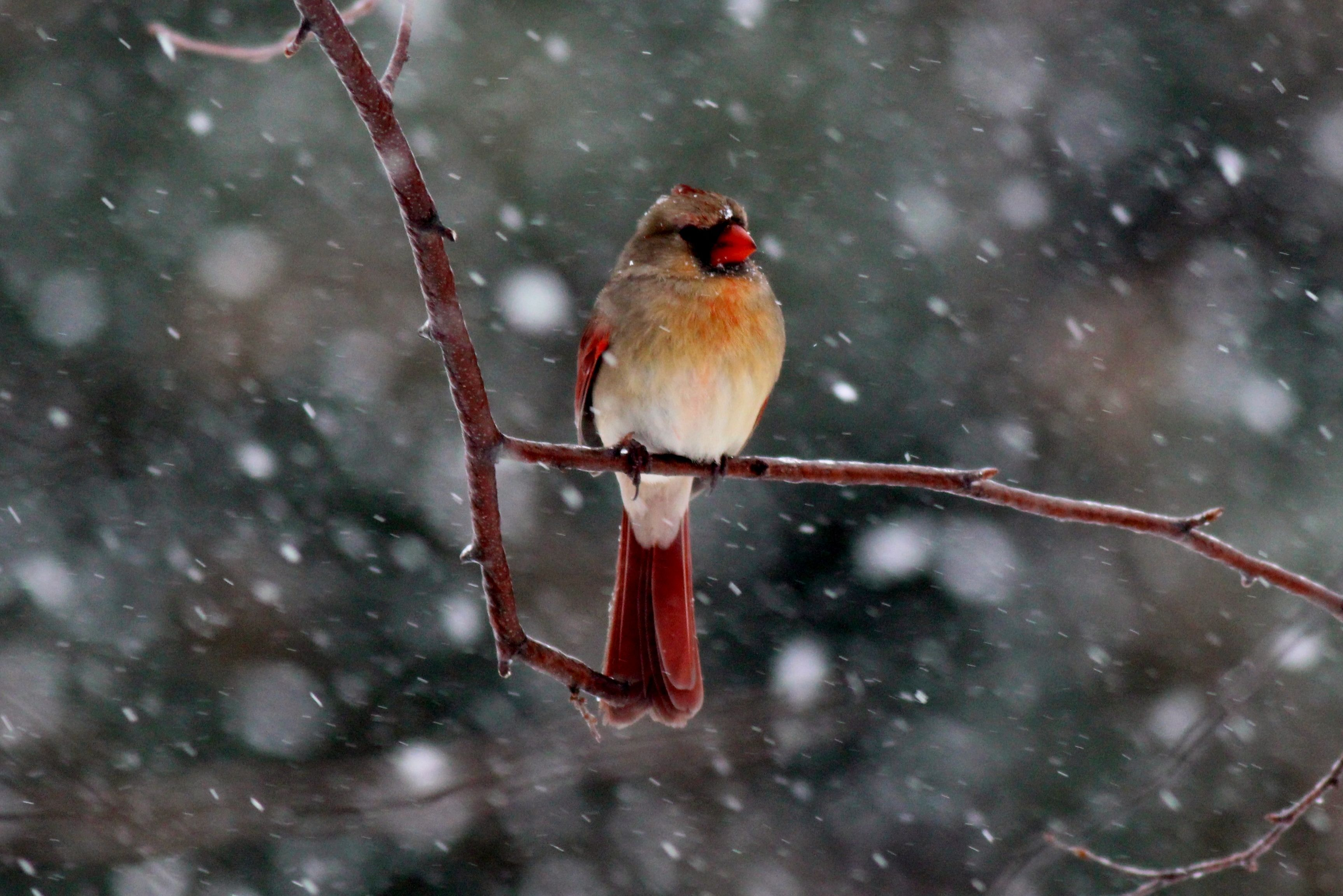 Female cardinal waits out an Illinois snow storm