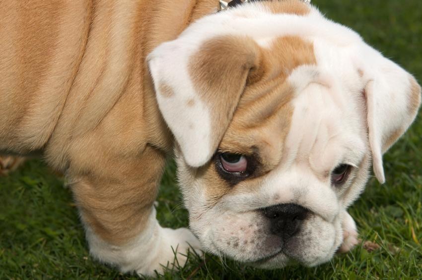 Pin By Bern Ack On Wagging Tails Bulldog Rescue English Bulldog