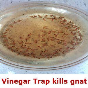 vinegar-traps-gnat | For the Home | Pinterest | Vinegar