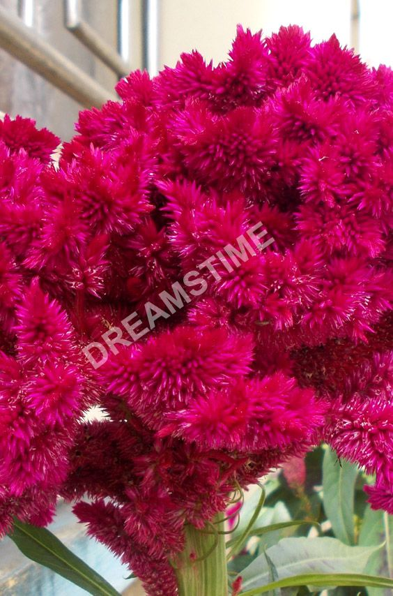Celosia Cristata Red Color Pink Maroon Cockscomb Flowers Flowers Photo Stock Photos