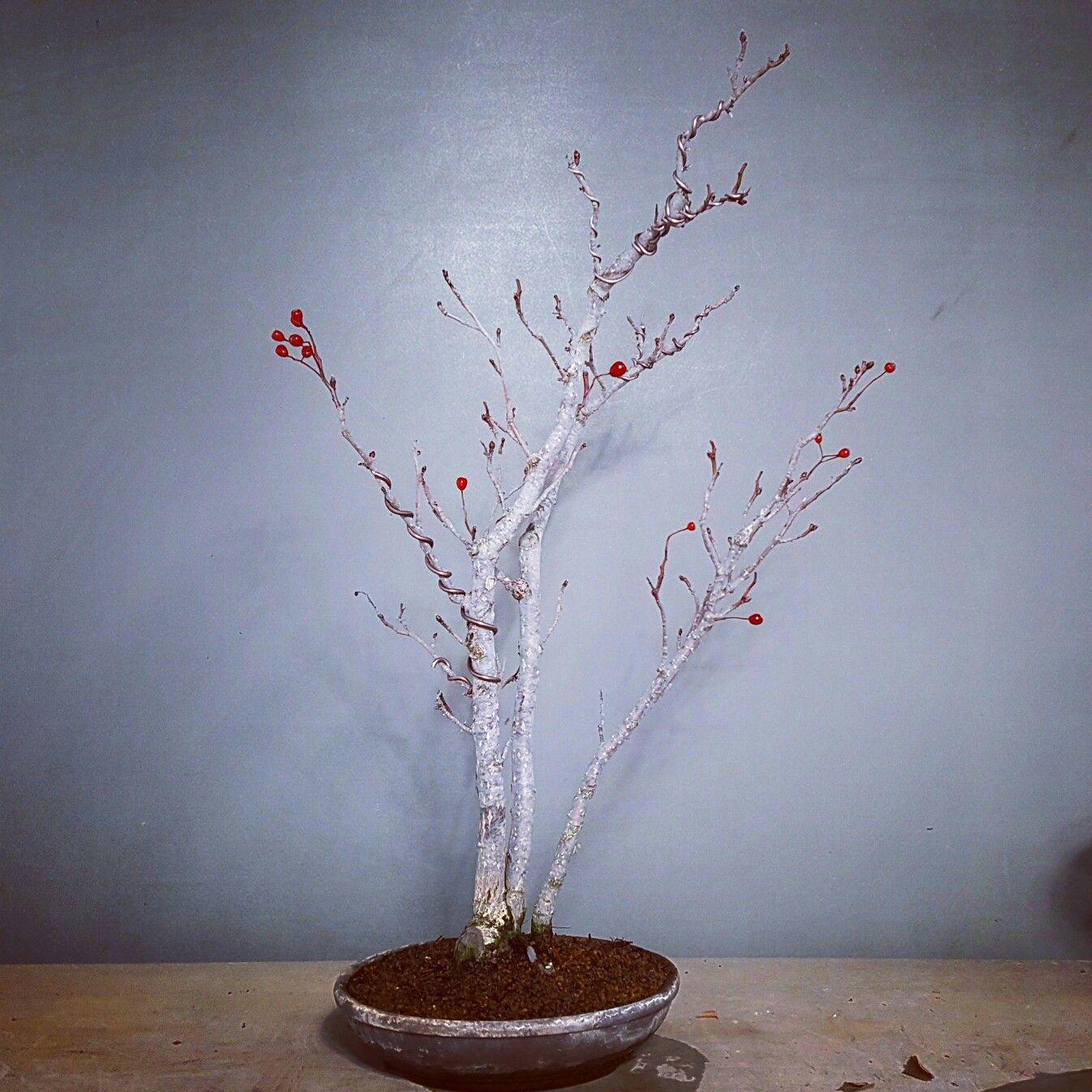 Bonsai, Bonsaitree, Sorbus Alnifolia, 팥배나무, Dec. 2016