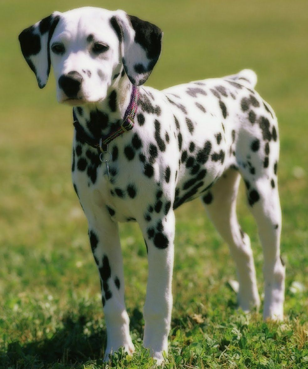 Border Collie Dalmatian Mix Dalmatian Puppy Dalmatian Dogs