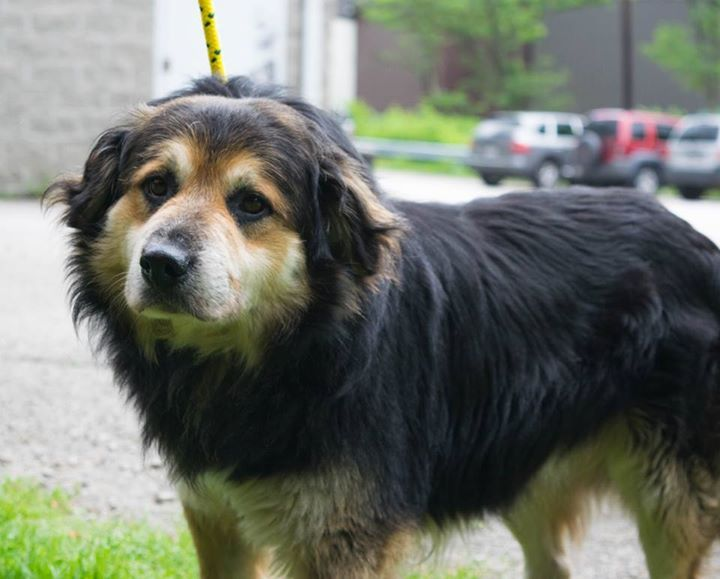 ID 957S Tillian is a lovable 4 year old male collie mix who came in as a stray from Hernshaw. He is 50 lbs. This boy is a doll! He can be a little nervous but he a very gentle loving dog. He is HOUSEBROKEN! He is would do best with a family that has older kids 10+. He is good with other dogs and cats! He needs a good home! Kanawha-Charleston Humane Association Charleston, WV (304) 342-1576