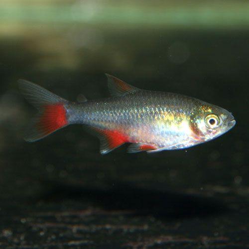 Bloodfin Tetra Aphyocharax Anisitsi Aquarium Fish For Sale Freshwater Fish Fish