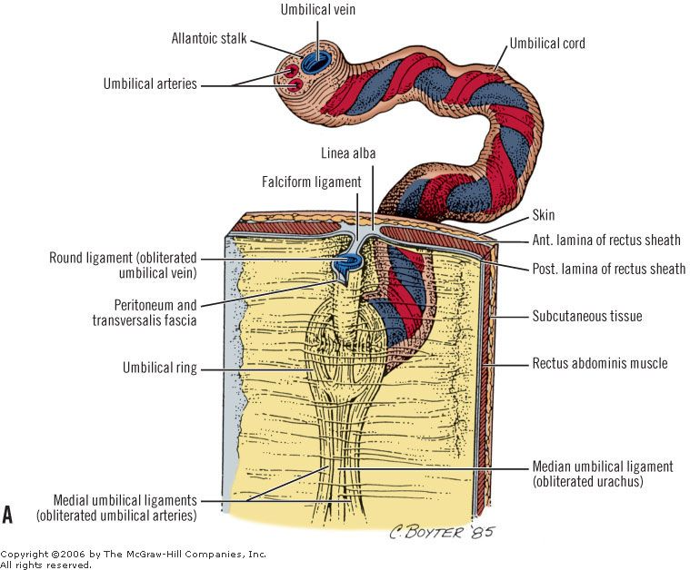 Medial Median And Lateral Umbilical Fold Falciform Ligament