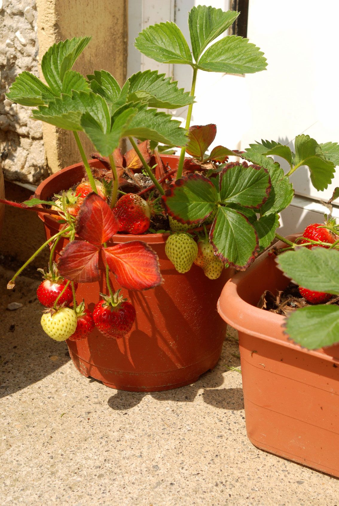 Container Gardening Strawberries – Care Of Strawberry Plants In Pots on loganberry plants, fig plants, cucumber plants, tomato plants, pomegranate plants, apricot plants, garden carrots, grape plants, pumpkin plants, garden plant protection from animals, garden cucumber, food plants, watermelon plants, blackberry plants, raspberry plants, blueberry plants, berry plants, black pepper plants, garden onion plants, almond plants,