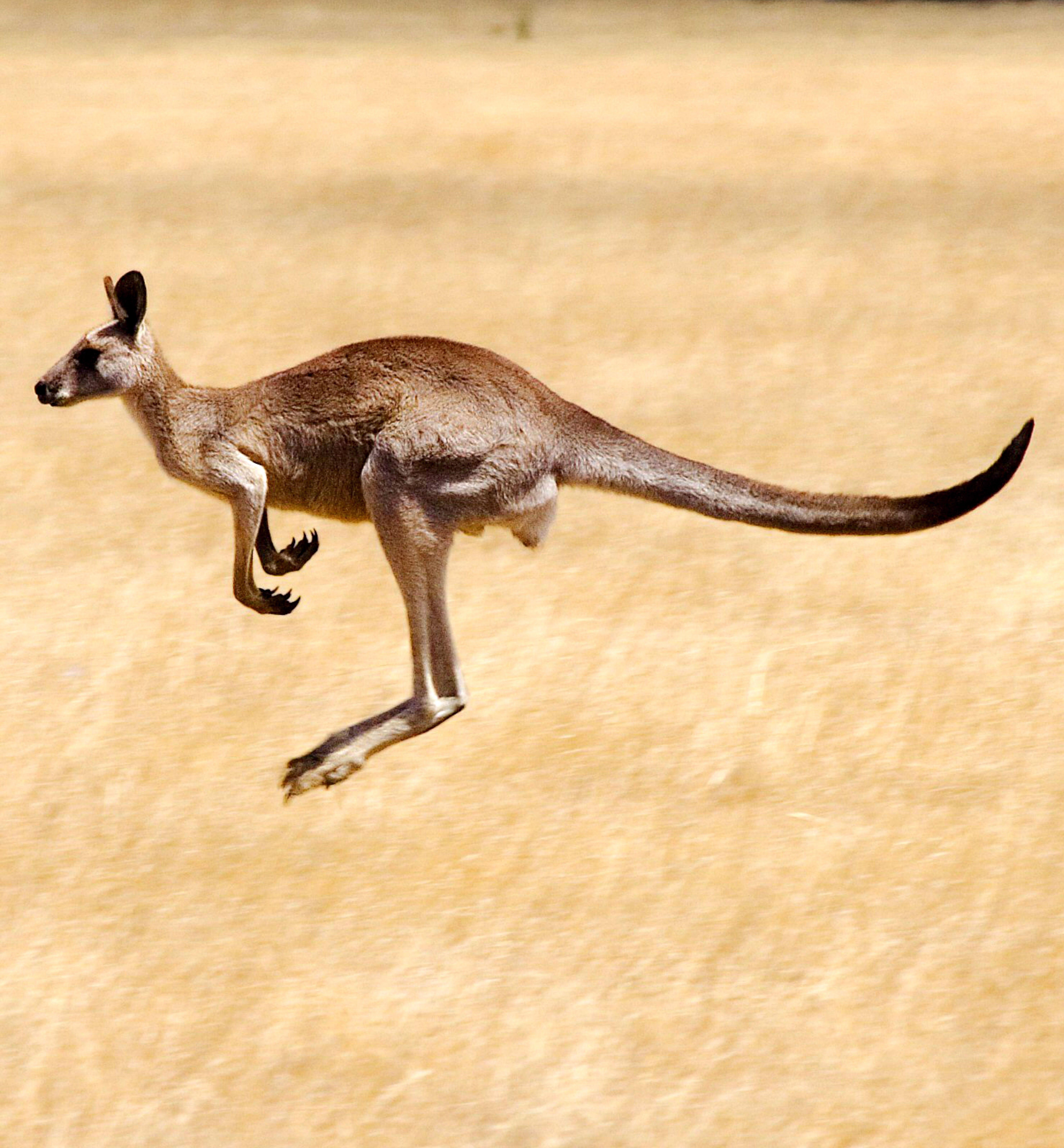 Kangaroos One Of Australia S Most Iconic Animals Australia Animals Australian Animals Kangaroo