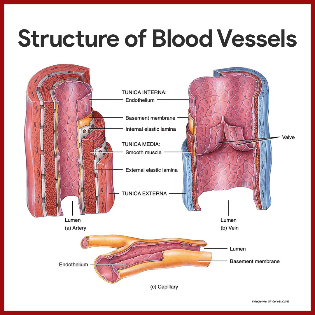 Cardiovascular System Anatomy and Physiology | Nursing School and ...
