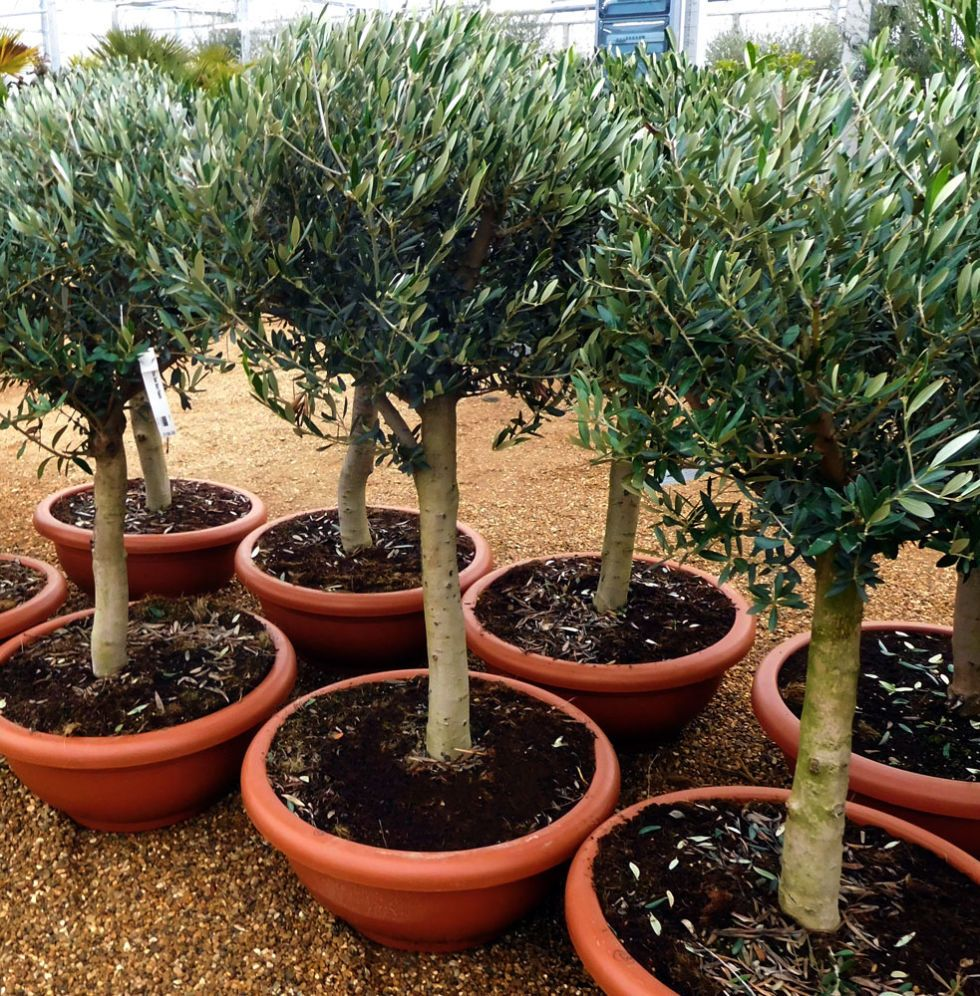 this is why you need olive trees in your home and garden gardens