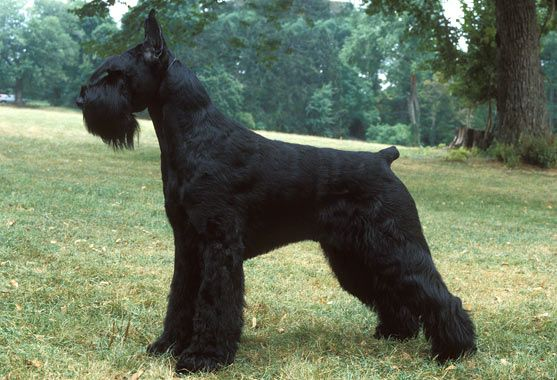 Everything you want to know about Giant Schnauzers including grooming, training, health problems, history, adoption, finding good breeder and more.