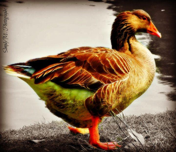 Streamzoo photo - Goose