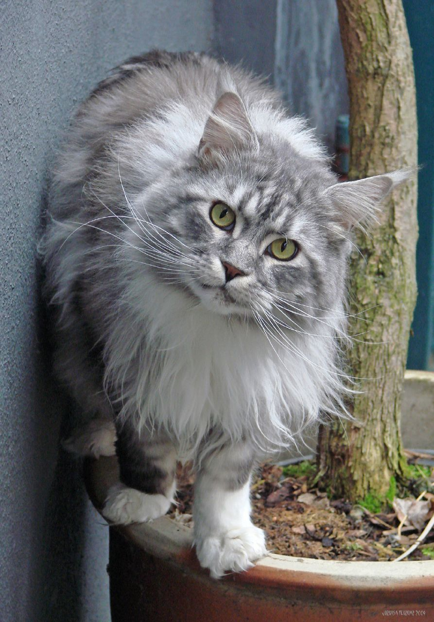 The Difference Between A Maine Coon The Norwegian Forest Cat