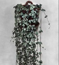 Ceropegia Woodii-chaine de coeur | Plante verte intérieur, Plante verte, Plante