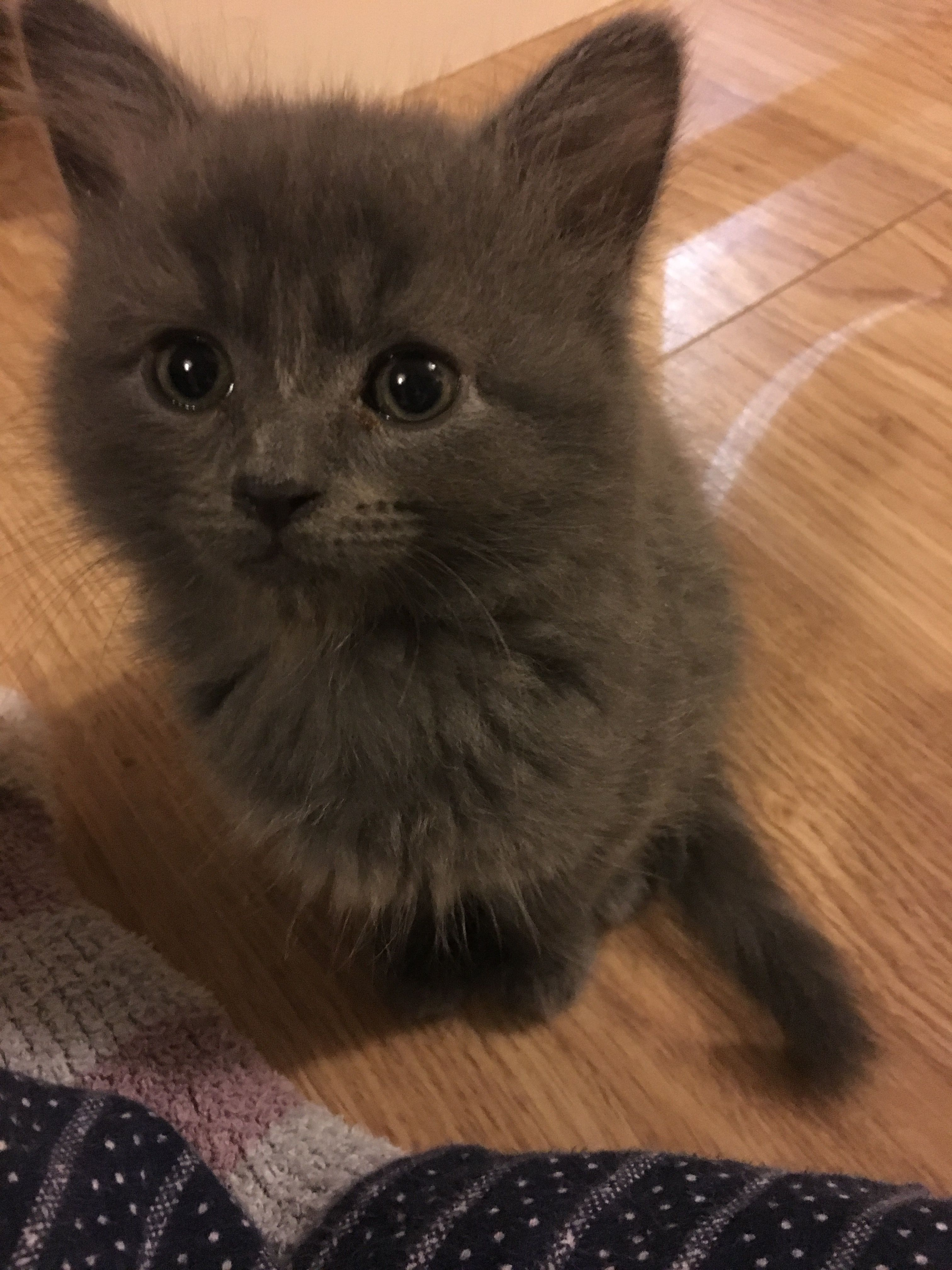 Baby Grey Fluffy Kitten Cute Cats And Kittens Cute Cats Fluffy Kittens