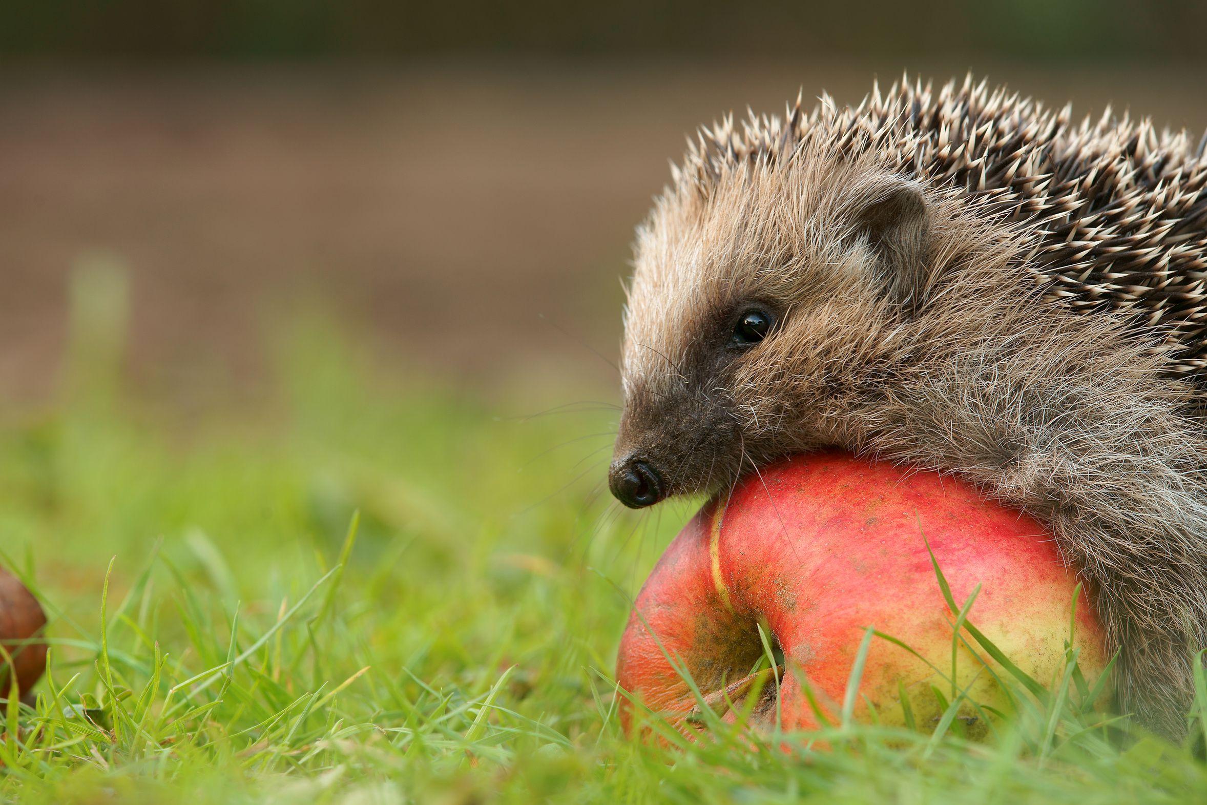 Igel im Garten le hérisson aime la pomme