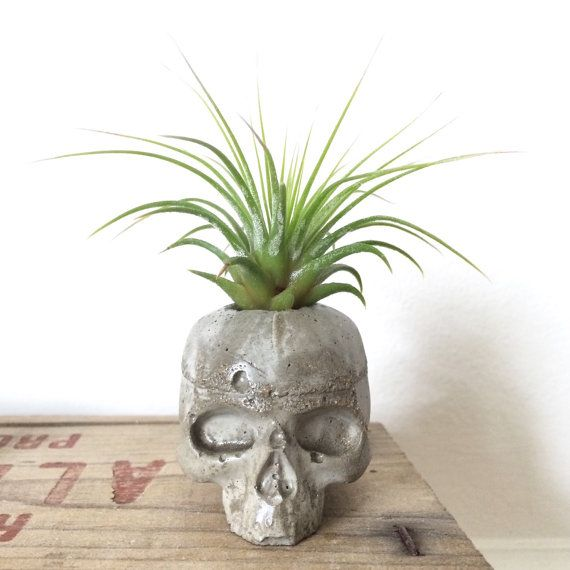 Hand cast concrete skull with tillandsia airplant, easy to take care of easy on the the eyes.
