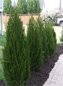 Hetz Columnar Juniper Evergreen Trees Pinterest Sun