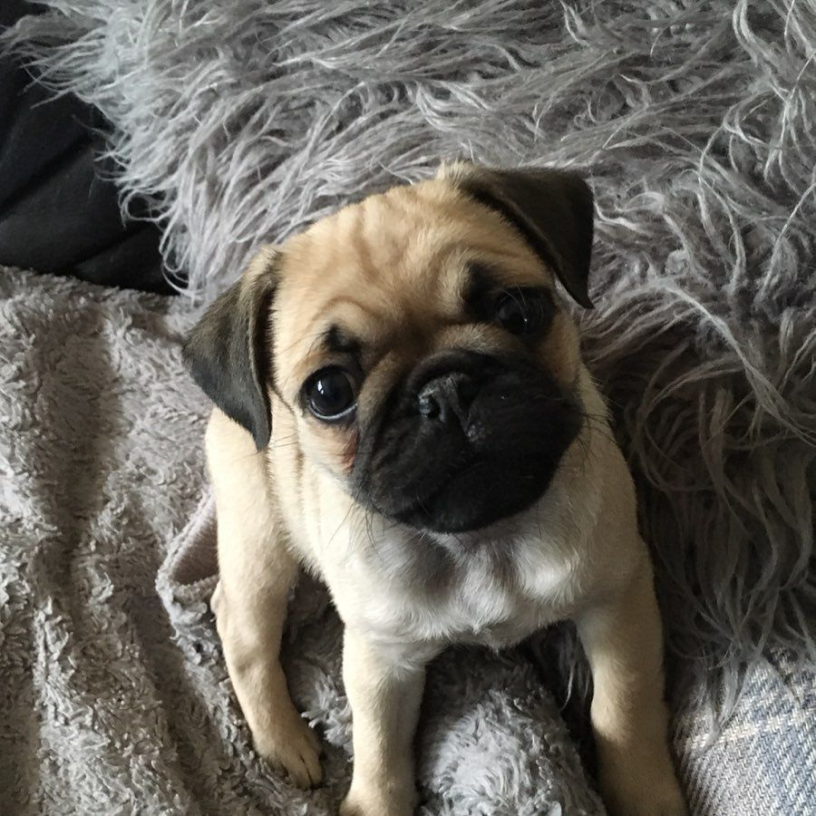 Our New Pug Puppy Doug 8 Weeks Old Pugs Pugsofinstagram