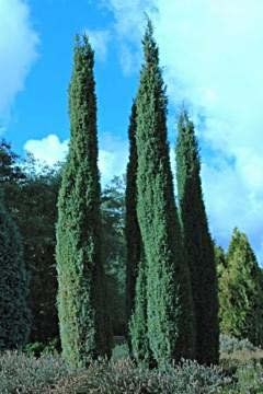 juniperus communis hibernica google otsing okaspuud pinterest topiary plants and evergreen. Black Bedroom Furniture Sets. Home Design Ideas