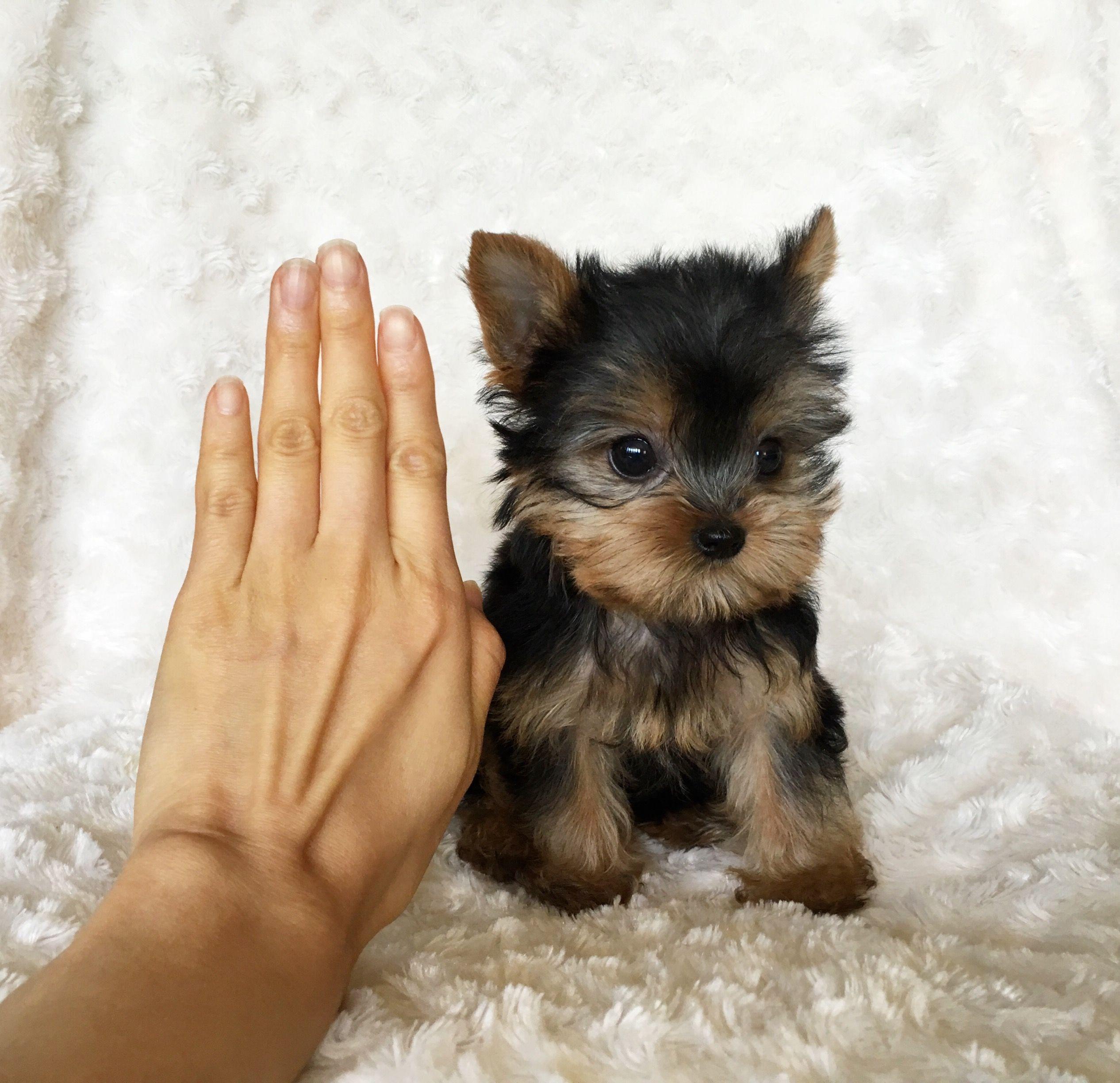 Teacup Yorkie Puppies For Adoption Yorkie Puppies For Adoption Teacup Yorkie Puppy Puppy Adoption