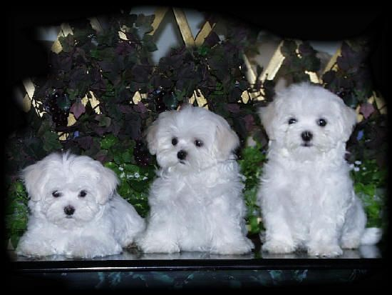 Maltese Puppies For Sale From Akc Maltese Puppy Breeder Teacup