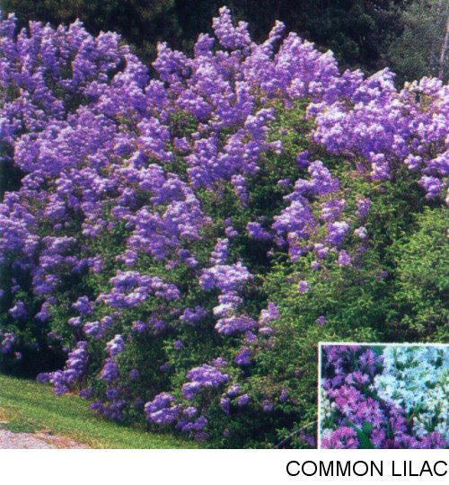 Lilacs Oh So Fragrent Lilac Bushes Fragrant Flowers Planting Flowers