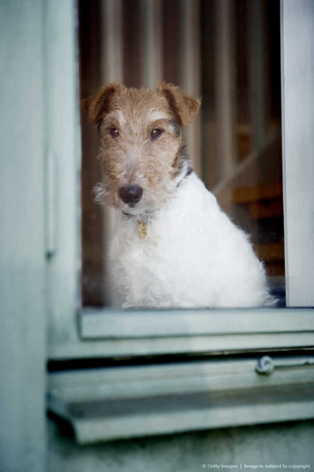 Image detail for -Wire fox terrier by window, view through glass ...