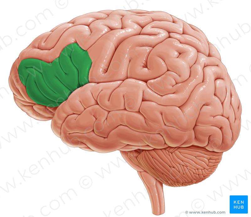 Inferior Frontal Gyrus Brainteral View