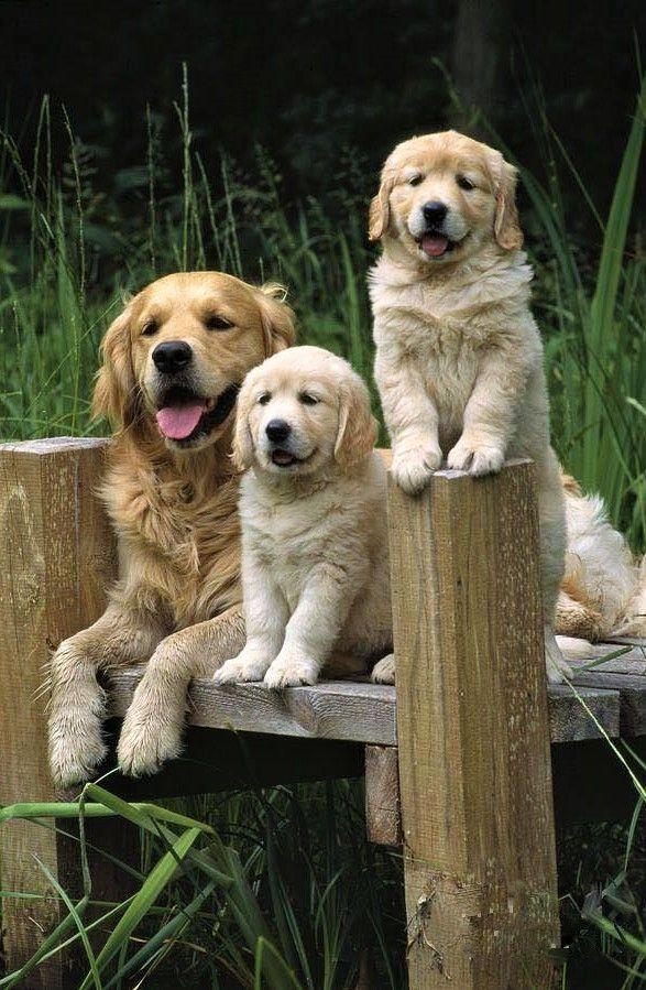 Savas Polat Paylasti With Images Dogs Golden Retriever