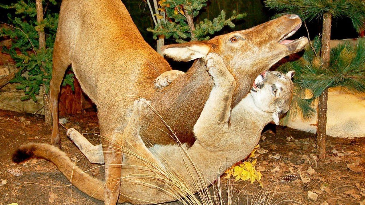 Mountain lion hunts prey and attacks bear how do big
