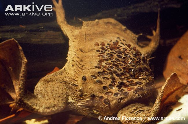 Suriname Toad With Young Emerging From Its Back Unusual Animals