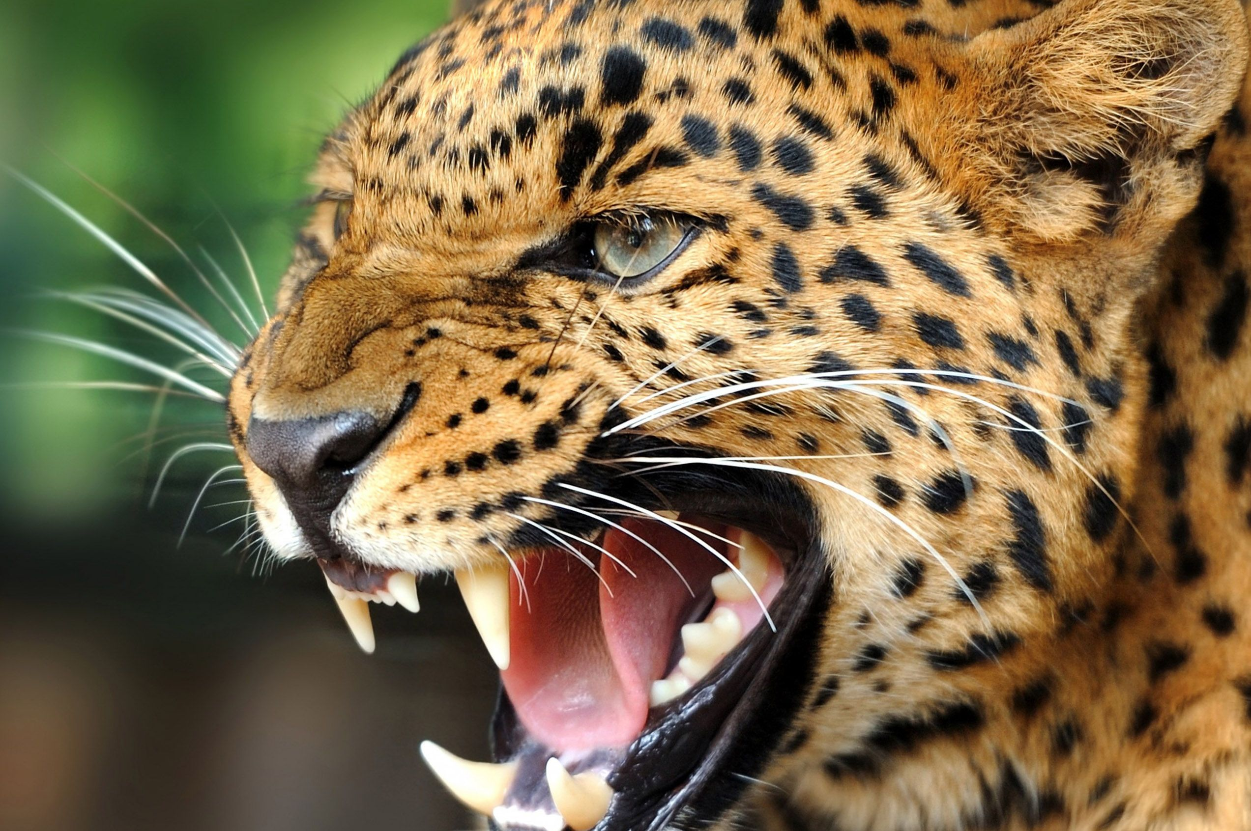 Free Cool Wild Animal Wallpaper For Android Wild animal