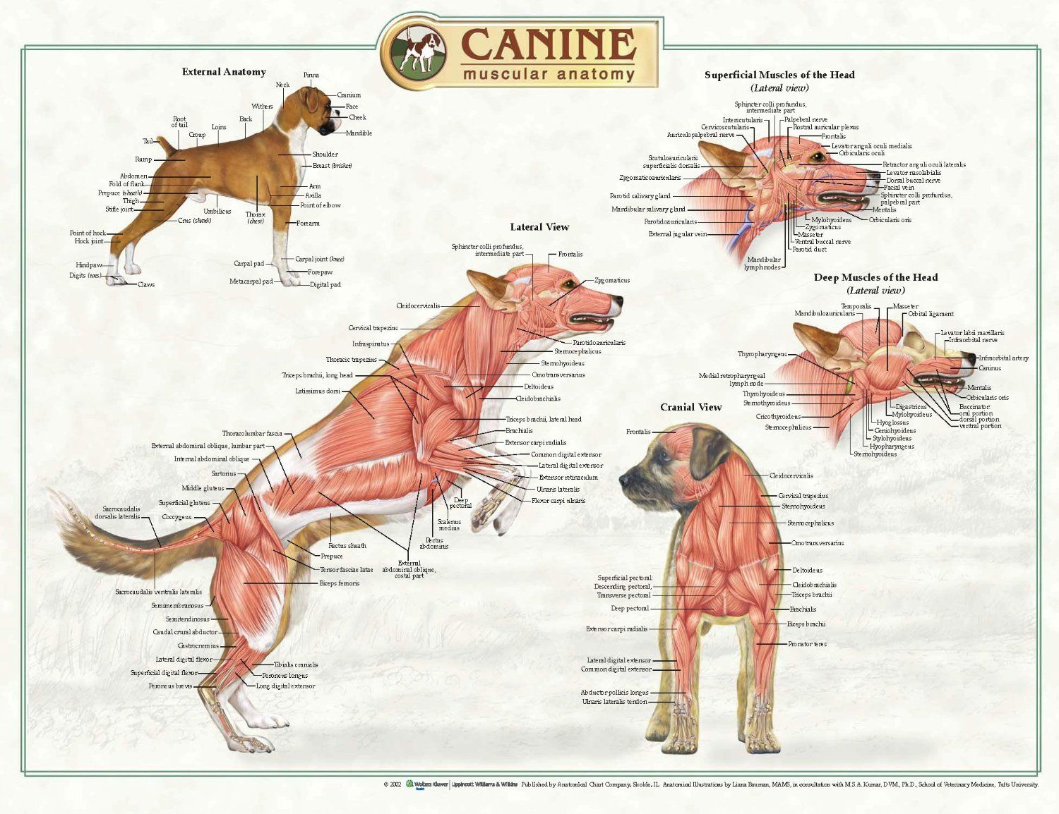 Canine Face Anatomy Diagram - Wiring Diagram Services •