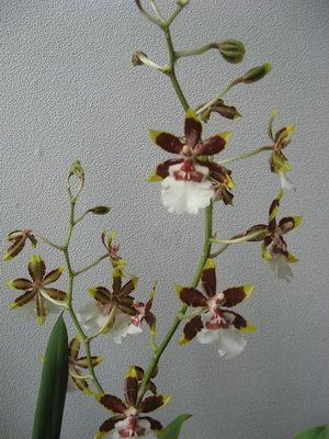 Разновидности орхидей с фото и названиями: комнатные сорта ...