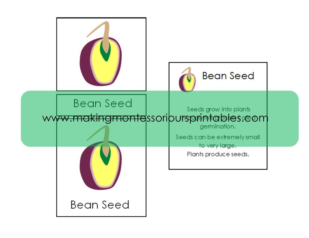 Montessori Botany Parts Of A Seed Puzzle Activity Set