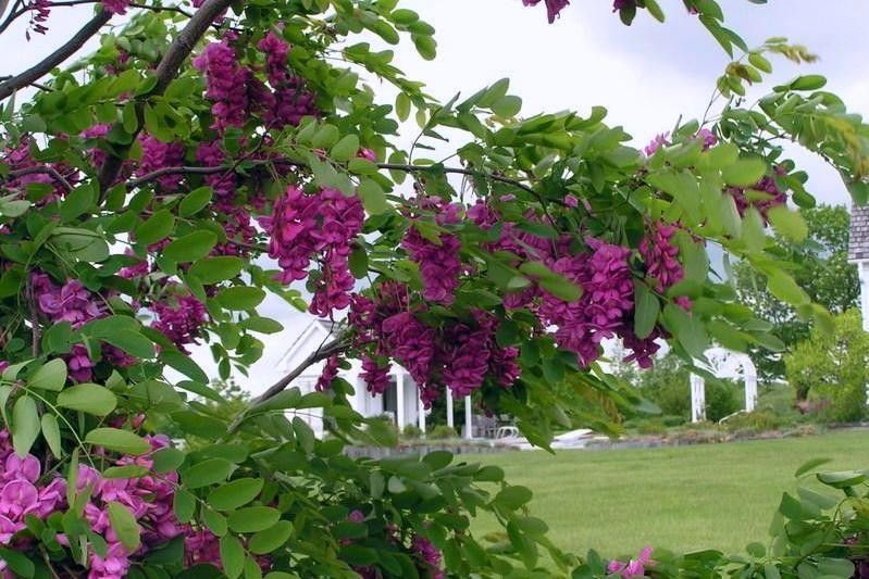 Purple Robe Flora Flowering Trees Purple Garden