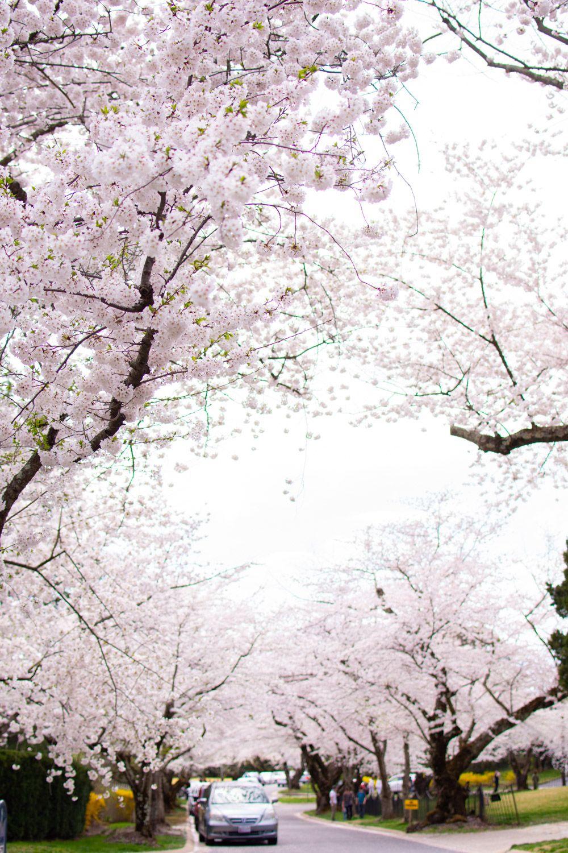 Kenwood Cherry Blossoms Experience Peak Bloom Without The Crowds Cherry Blossom Cherry Blossom Festival Blossom